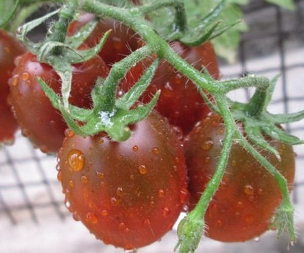 рассада помидор оптом